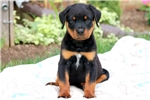 Picture of Joey - Rottweiler Male