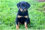 Picture of Cassie - Rottweiler Female