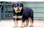 Picture of Chunk - Rottweiler Male