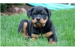 Picture of Trixie - Rottweiler Female