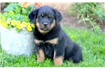 Picture of Candy - Rottweiler Female