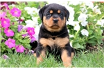 Picture of Lexi - Rottweiler Female