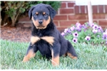 Picture of Lonny - Rottweiler Male