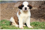 Picture of Brutus - St Bernard Male