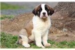Picture of Bailey - St Bernard Female