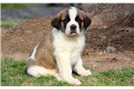 Picture of Beethoven - St Bernard Male