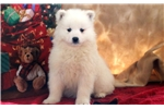 Picture of Ginger - Samoyed Female