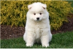 Picture of Mocha - Samoyed Female