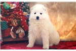 Picture of Gus - Samoyed Male