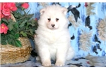 Picture of Snowy - Samoyed Female