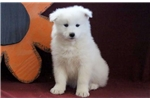Picture of Bruno - Samoyed Male