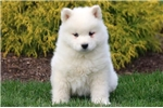 Picture of Marty - Samoyed Male