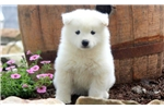 Picture of Markey - Samoyed Male