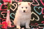 Picture of Sadie - Samoyed Female