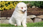 Picture of Dennis - Samoyed Male