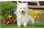 Picture of Furby - Samoyed Male