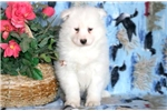 Picture of Snow White - Samoyed Female