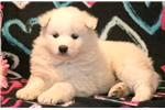 Picture of Princess - Samoyed Female
