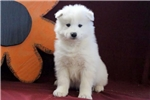 Picture of Buckwheat - Samoyed Male