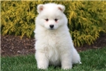 Picture of Misty - Samoyed Female