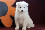 Picture of Buzz - Samoyed Male