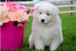 Picture of Rosie - Samoyed Female