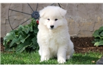Picture of Gunner - Samoyed Male