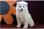 Picture of Bruzer - Samoyed Male