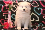 Picture of Sophie - Samoyed Female