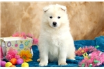 Picture of Brutus - Samoyed Male
