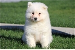Picture of Cosby - Samoyed Male
