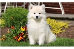 Picture of Forest - Samoyed Male