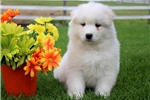 Picture of Ronnie - Samoyed Male