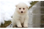 Picture of Snowball - Samoyed Male