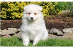 Picture of Darron - Samoyed Male