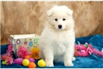 Picture of Buster - Samoyed Male