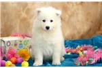 Picture of George - Samoyed Male