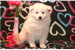 Picture of Sukie - Samoyed Female