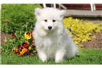Picture of Freezy - Samoyed Female