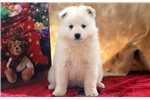 Picture of Gabby - Samoyed Female