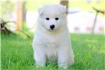 Picture of Madelyn - Samoyed Female