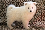 Picture of Melody - Samoyed Female