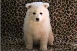 Picture of Maxie - Samoyed Female