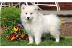 Picture of Frisky - Samoyed Male