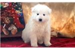 Picture of Gonzo - Samoyed Male