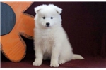 Picture of Buttercup - Samoyed Female