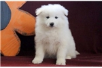 Picture of Benji - Samoyed Male