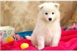 Picture of Daffodil - Samoyed Female