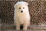 Picture of Monto - Samoyed Male