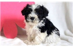 Picture of Jayla - Schnoodle Female